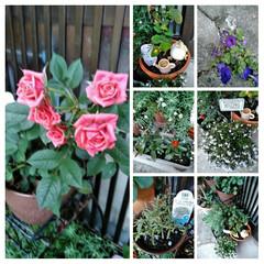 フォロー大歓迎/LIMIAファンクラブ/至福のひととき/暮らし/セリア 春のお花も終わったので 植え替えしました…