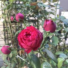 ガーデニング お庭に咲く秋の薔薇も好き