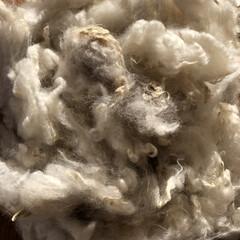 ロムニー/羊/原毛/羊毛 羊の🐏原毛 刈り取ったばかりの羊毛は脂で…