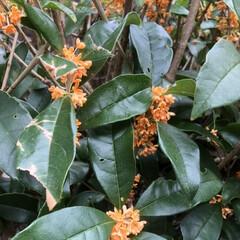 秋/香り/金木犀/暮らし 良い香り 今年は10月12日に初めて金木…