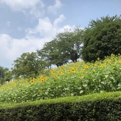 猛暑/夏/🍘/ひまわり/風景/おでかけワンショット ひまわりの丘🌻 体がおかしくなってしまい…
