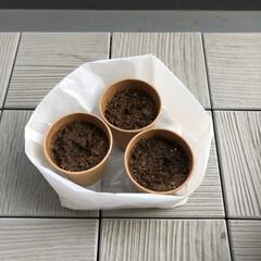 紙コップで植木鉢/種まき/ユーカリ/春の一枚 ユーカリの実から、種がどんどん落ちてきま…