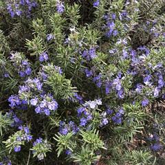 春/紫の花/花/植物/小さい春 これはローズマリーかな? トゲトゲした緑…