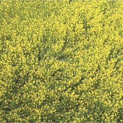 美しい/春の花/花見/菜の花畑/春の一枚 黄色い絨毯   菜の花畑 桜もいいけど🌸…
