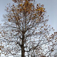 落ち葉/紅葉/ゆりの木 ゆりの木の紅葉 だいぶ散りました。 道路…