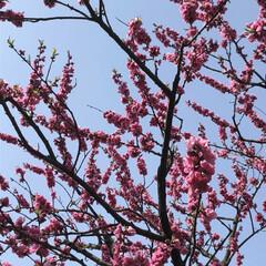 桃色/ピンク/桃の花/桃の木/春の一枚 桃の花 こちらの桃の木は、3〜4年に一度…