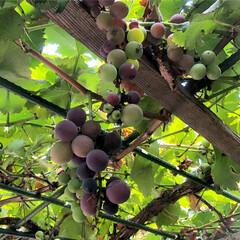 果物/ぶどうの木/風景 実家の庭で育てているぶどう🍇 私が子供の…(1枚目)