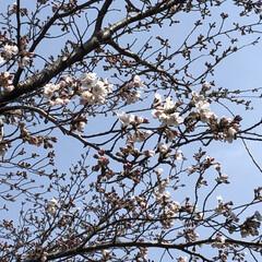 つぼみ/1分咲き/薄紅/ソメイヨシノ/桜/春の一枚 桜咲き始めました🌸 桃の木の隣にある桜の…