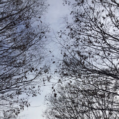 公園/寒い日/木/冬 息子と一緒に夕方の公園。 毛細血管のよう…