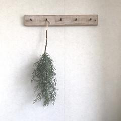 植物のある暮らし/ブルーアイス/もみの木 ブルーアイス まだクリスマスには早いけど…