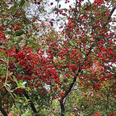 植物/木/赤い実/鳥 鳥の休憩場所。 この赤い実を鳥が食べてい…
