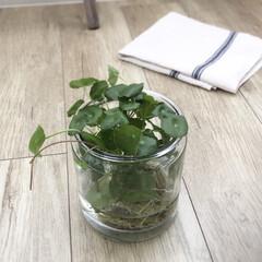 植物と暮らす/植物のある暮らし/ウォーターマッシュルーム/植物/暮らし ウォーターマッシュルーム 見ているだけで…