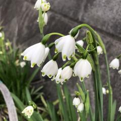 植物/すずらん/花/小さい春 路地に咲くすずらん 今日は暖かく風が強い…