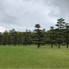 庭園/松の木/皇居/令和の一枚/GW/風景/... またまた皇居前 松の木の庭園がものすごく…