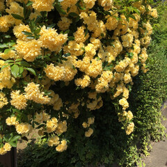 アーチ/木香薔薇/オダマキ/ガーデニング 今日はひっさびさに庭の物置の断捨離と掃除…