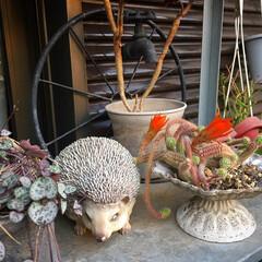 ハリネズミ/ハートカズラ/サボテンの花 こんばんはー☆ 今日はお庭に出たら、 サ…