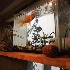 水槽/金魚/掃除/家族でおうち掃除 今日は娘と一緒に金魚のオハナちゃんの水槽…