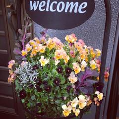 ガーデニング/葉牡丹/パンジーとビオラ/ハンギング/玄関 雨だけど、お花がモリモリになったので、玄…