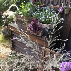 ガーデニング/姫リンゴ/イチゴ/エレモフィラニベア エレモフィラニベアの花が風にゆられてふわ…