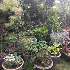ヒューケラ/スモークツリー/フランネルフラワー/オダマキの花/ガーデニング 今日のお庭ー♪ 娘とまたお庭の撮影会をし…