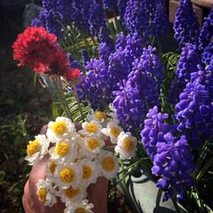 春ですね/アルメリア/花かんざし/ムスカリ ムスカリ が今年も勝手に咲いてくれました…