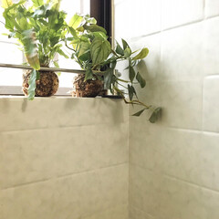 お風呂場/苔玉 作った苔玉をお風呂場の窓際に置きましたー…