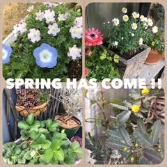 クローバー/花かんざし/アネモネ/イチゴ/ネモフィラ/アカシア/... 今日は暖かいので、庭に久しぶりに出てみた…