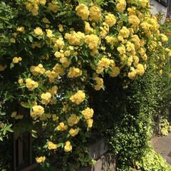 ガーデニング/木香薔薇 木香薔薇 が満開でした❣️ 放置してたら…