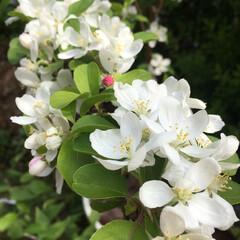 ガーデニング/姫リンゴ/イチゴ/エレモフィラニベア エレモフィラニベアの花が風にゆられてふわ…(2枚目)