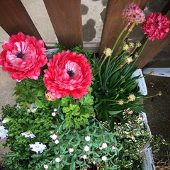 スカビオサ/アネモネ/花かんざし/ネモフィラ 久しぶりに実家へ。 花屋に連れて行って欲…