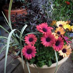 寄せ植え/リシマキア/スノードラゴン/コロキア/金魚草/オステオスペルマム/... 久しぶりに寄せ植えしましたー♪ 春なのに…