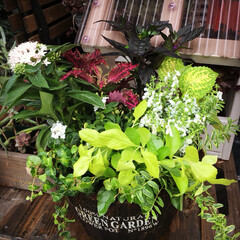 フィカスプミラ/ロニセラレモンビューティー/アンゲロニア/ランタナ/ペンタス/コリウス/... 園芸教室 に久しぶりに参加してきましたー…