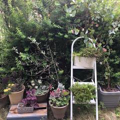 ユーカリポポラス/ラムズイヤー/フランネルフラワー/ヒューケラ/ガーデニング こんにちは❣️ 今日らお庭の掃除したよー…
