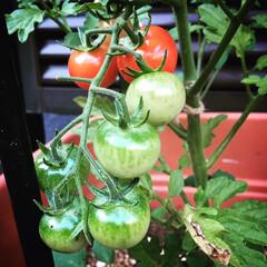 ミニトマト/家庭菜園 ミニトマトが色づき始めました❤️ 毎日い…