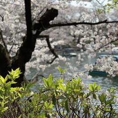 日本/春/桜/井の頭公園/お花見/春のフォト投稿キャンペーン/...  今年もココは賑やかでした😄 ボートもス…