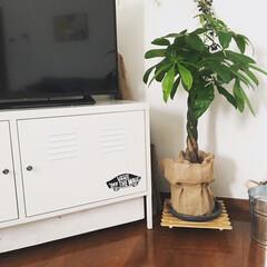 10分でできる/100均リメイク/植物/植物のある暮らし/観葉植物のある暮らし/観葉植物 テレビ横にパキラをホームセンターで買いま…