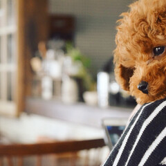 犬のいる生活/ペット/犬/ペット仲間募集/わんこ同好会 だっこをすると、よじ登ってきて、肩に顔を…