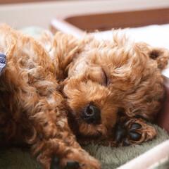 ポメプー/犬のいる生活/ふわもこ部/ミックス/ポメラニアン/コンテスト参加/... 今日も朝からおねむなチロくん☺️ 遊んだ…