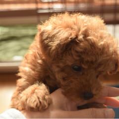 犬のいる生活/ポメラニアン/トイプードル/ポメプー/しつけ/甘噛み/... 甘噛みは、今日から禁止!ちょっとずつ、し…(2枚目)