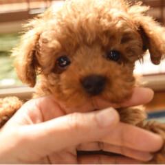 犬のいる生活/ポメラニアン/トイプードル/ポメプー/しつけ/甘噛み/... 甘噛みは、今日から禁止!ちょっとずつ、し…