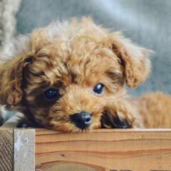 犬のいる生活/ポメラニアン/ポメプー/ミックス/トイプードル/ふわもこ部/... 我が家に新しい家族が!  昨日から我が家…