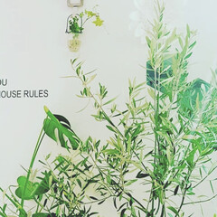 ウォールステッカー/オリーブ/観葉植物/ボタニカル/100均/ダイソー/... オリーブが映えるインテリア