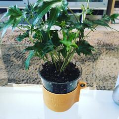 観葉植物/父の日/ボタニカル/雑貨/100均/ダイソー/... 100均,DAISO。 アレンジ。コップ…