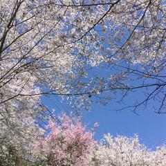 お花見 今年の桜は長く楽しめました。