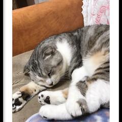 スコテッシュ、ぬくぬく寝てます💤/リミアの冬暮らし/リミアな暮らし やっぱり😅寝てまーす💤  お気に入りの場…
