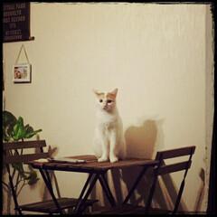 賃貸/おうちcafé/猫 こっそり机に乗っかって、悪いにゃんです。