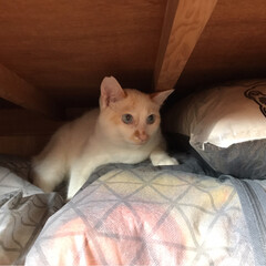 かぎしっぽ/白猫/保護猫/令和元年フォト投稿キャンペーン/LIMIAペット同好会/にゃんこ同好会 いつもの場所で寝てるのかと思ってたら‥ …