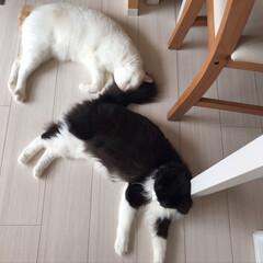 保護猫/もんじ君/ハチワレ猫/満福君/白猫/LIMIAペット同好会/... ご飯を食べてお腹いっぱい。 同じ格好でお…(2枚目)