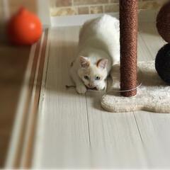 かぎしっぽ/白猫/保護猫/ペット/ペット仲間募集/猫/... 新しいおもちゃに大興奮‼️  野生本能目…