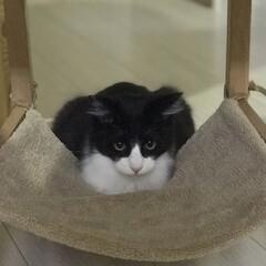 ハチワレ/保護猫/にゃんこ同好会 ニャンモックの使い方ーー!ちがーう! だ…